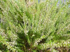 Vřes obecný 'Anette' - Calluna vulgaris 'Anette'