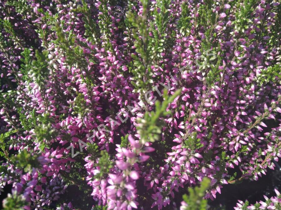Vřes obecný 'Lilli' - Calluna vulgaris 'Lilli' (Garden girls®)