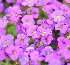 Tařička kosníkovitá 'Axcent Deep Purple' - Aubrieta deltoides 'Axcent Deep Purple'