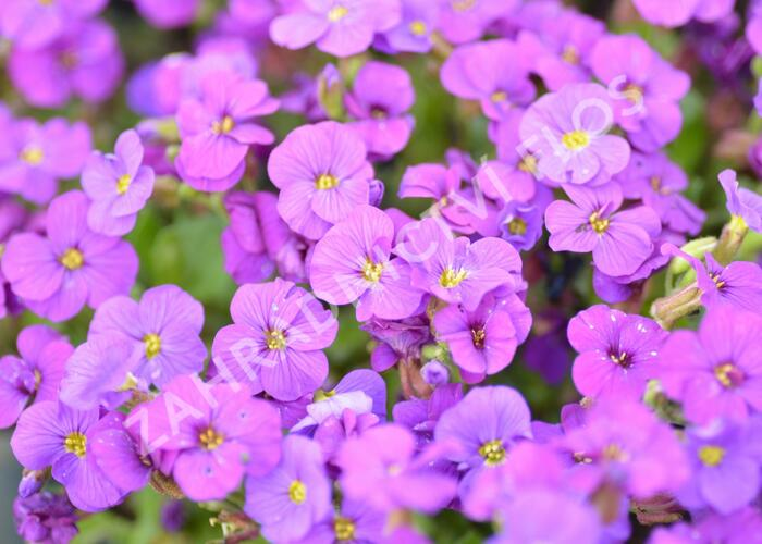 Tařička kosníkovitá 'Axcent Deep Purple' - Aubrieta deltoides 'Axcent Deep Purple'