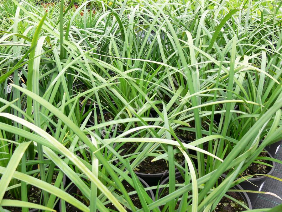 Liriope 'Evergreen Giant' - Liriope muscari 'Evergreen Giant'