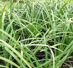 Liriope 'Evergreen Giant' - Liriope muscari 'Evergreen Giant'