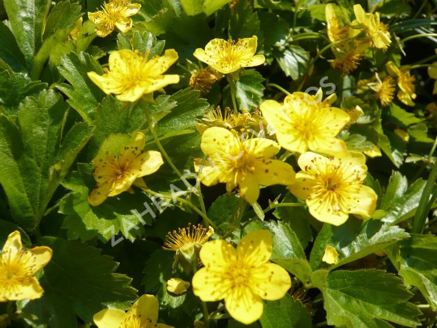 Mochnička trojčetná - Waldsteinia ternata
