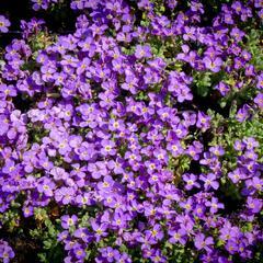 Tařička kosníkovitá 'Audrey Light Blue' - Aubrieta deltoides 'Audrey Light Blue'