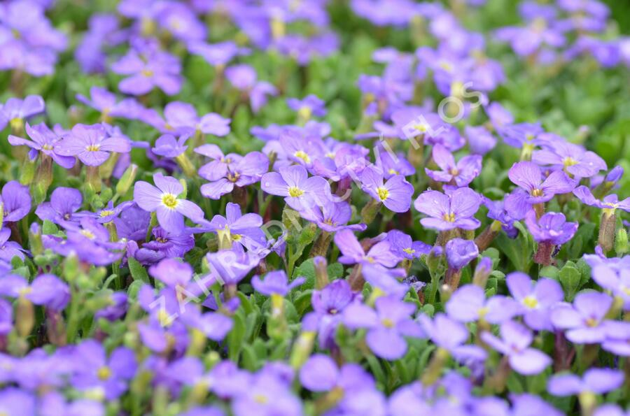 Tařička kosníkovitá 'Audrey Light Blue' - Aubrieta deltoides 'Audrey Light Blue'