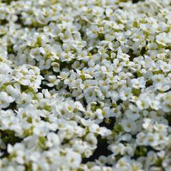 Huseník kavkazský 'Little Treasure White' - Arabis caucasica 'Little Treasure White'
