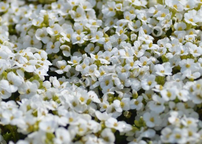 Huseník kavkazský 'Little Treasure White' - Arabis caucasica 'Little Treasure White'