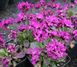 Huseník brvolistý 'Rose Delight' - Arabis blepharophylla 'Rose Delight'