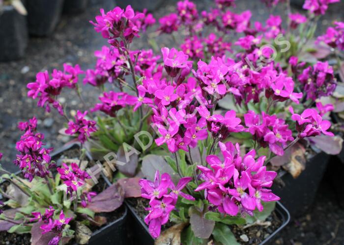 Huseník brvolistý 'Rose Delight' - Arabis blepharophylla 'Rose Delight'