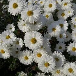 Listopadka (Chryzantéma) indická 'Schneewittchen' - Dendranthema indicum 'Schneewittchen'