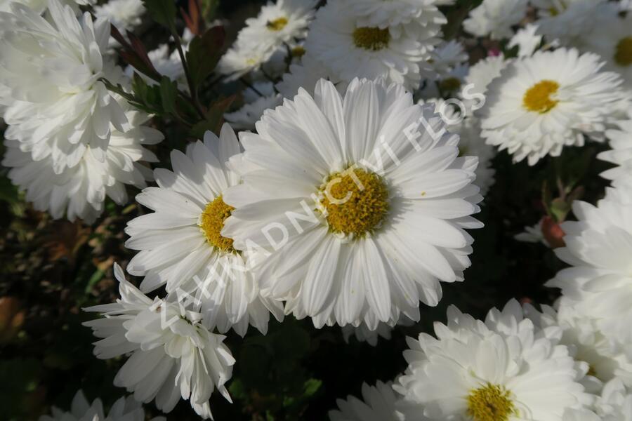 Listopadka indická 'Schneewittchen' - Dendranthema indicum 'Schneewittchen'
