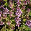 Mateřídouška 'Woody' - Thymus pseudolanuginosus 'Woody'