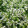Mateřídouška 'Wirral White' - Thymus praecox 'Wirral White'