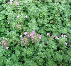 Mateřídouška - Thymus pseudolanuginosus