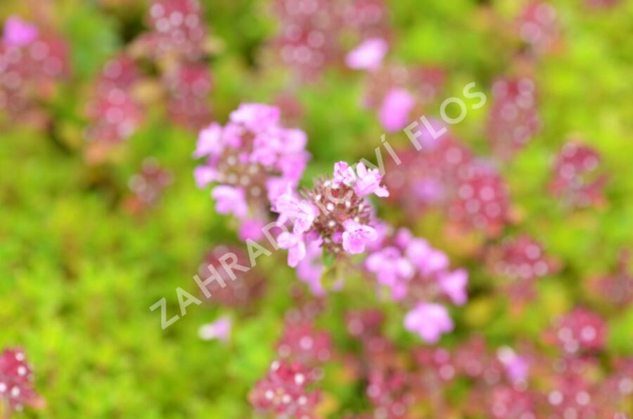 Mateřídouška 'Minor' 6 - Thymus praecox 'Minor' 6