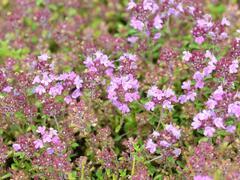 Mateřídouška 'Minor' 4 - Thymus praecox 'Minor' 4