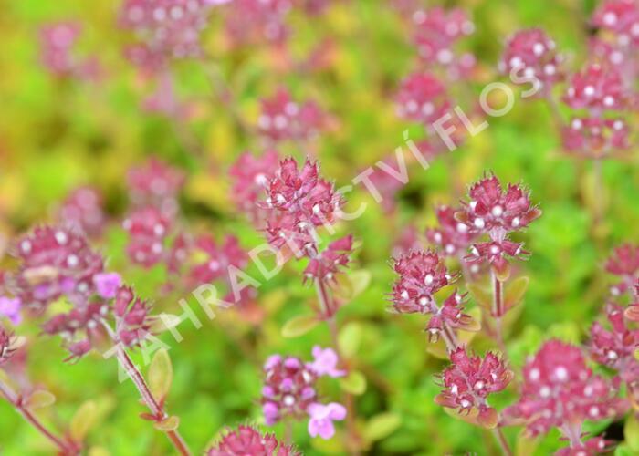 Mateřídouška 'Minor' 5 - Thymus praecox 'Minor' 5