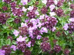 Mateřídouška 'Minor' 3 - Thymus praecox 'Minor' 3