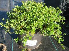 Mateřídouška 'Minor' 2 - Thymus praecox 'Minor' 2