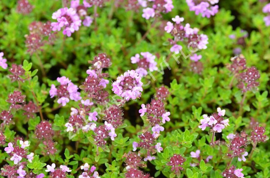 Mateřídouška 'Minor' 1 - Thymus praecox 'Minor' 1