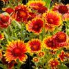 Kokarda osinatá 'Arizona Sun' - Gaillardia aristata 'Arizona Sun'