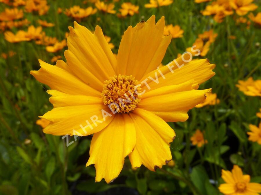 Krásnoočko 'Nana' - Coreopsis auriculata 'Nana'