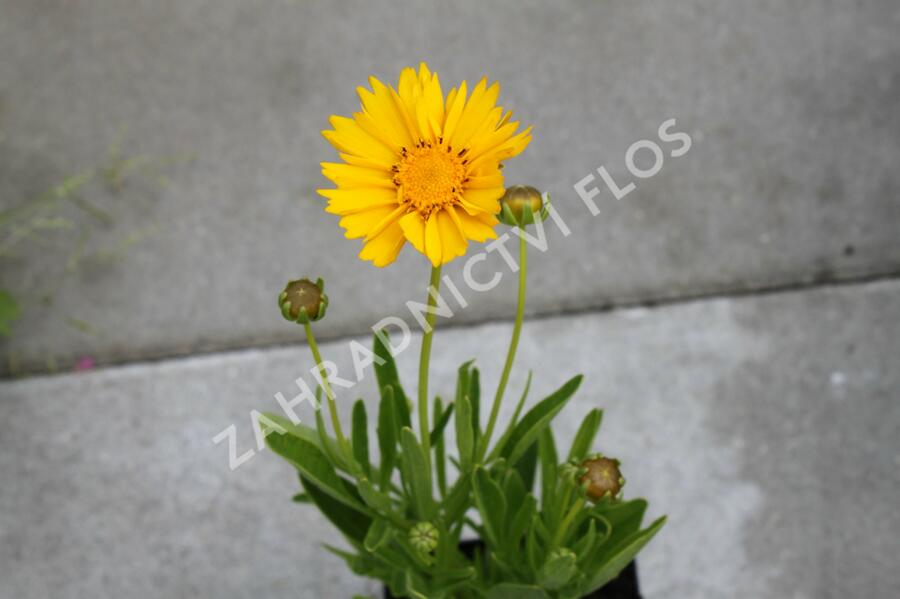 Krásnoočko velkokvěté 'Early Sunrise' - Coreopsis grandiflora 'Early Sunrise'