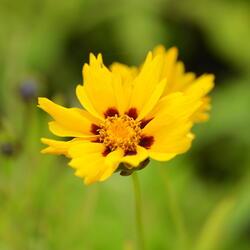 Krásnoočko 'Sterntaler' - Coreopsis lanceolata 'Sterntaler'