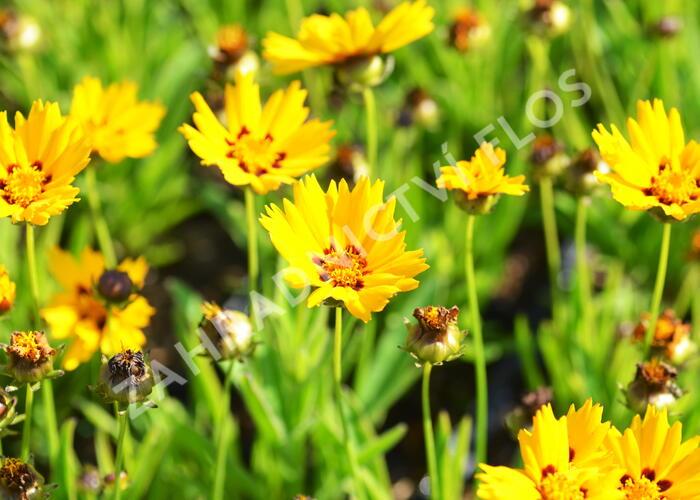 Krásnoočko 'Sunfire' - Coreopsis lanceolata 'Sunfire'