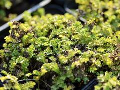 Plazilka drobnolistá 'Grauer Zwerg' - Acaena microphylla 'Grauer Zwerg'
