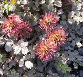 Plazilka drobnolistá 'Kupferteppich' - Acaena microphylla 'Kupferteppich'