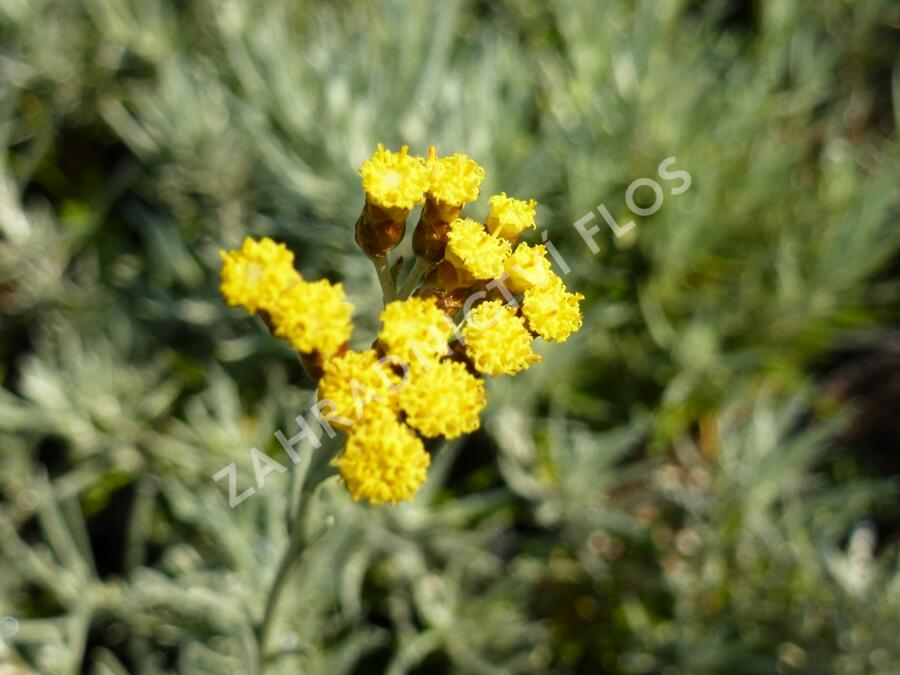 Smil italský - Helichrysum italicum