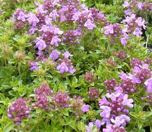 Mateřídouška 'Minor Roseum' - Thymus serpyllum 'Minor Roseum'