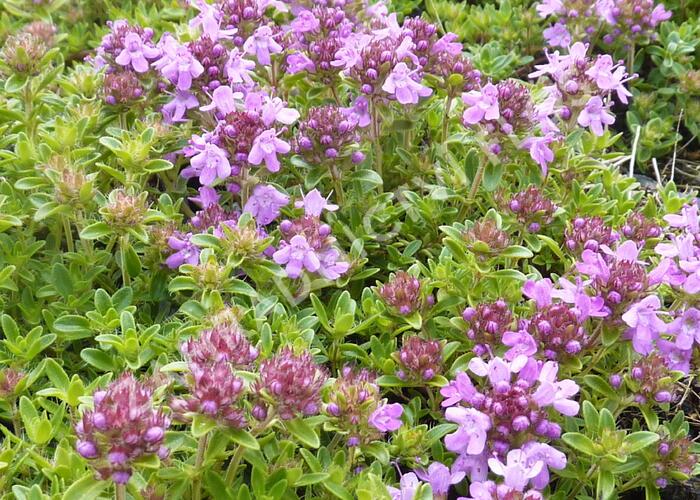 Mateřídouška 'Minor Roseum' - Thymus serpyllum 'Minor Roseum'