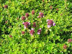 Mateřídouška 'Minor' ('Minus') - Thymus serpyllum 'Minor' ('Minus')