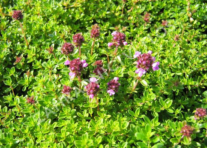 Mateřídouška 'Minor' ('Minus') - Thymus serpyllum 'Minor' ('Minus')