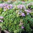 Mateřídouška 'Minimus' - Thymus serpyllum 'Minimus'