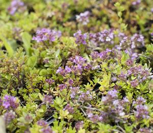 Mateřídouška 'Magic Carpet' - Thymus serpyllum 'Magic Carpet'
