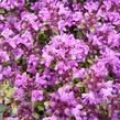 Mateřídouška 'Coccineum' - Thymus serpyllum 'Coccineum'