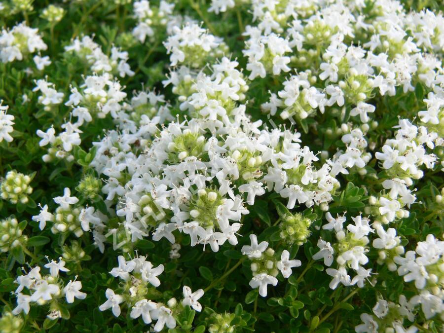Mateřídouška 'Amade' - Thymus serpyllum 'Amade'