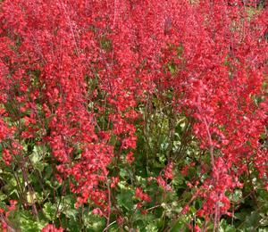 Dlužicha 'Scarlet Red' - Heuchera sanguinea 'Scarlet Red'