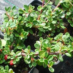 Skalník zimostrázolistý - Cotoneaster buxifolia 'Nana'