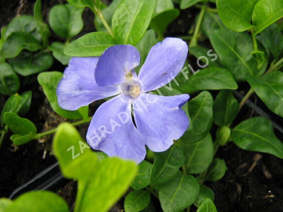 Barvínek menší - Vinca minor 'Anna'