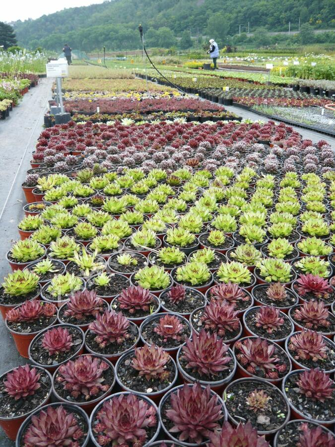 Netřesk - Sempervivum mix