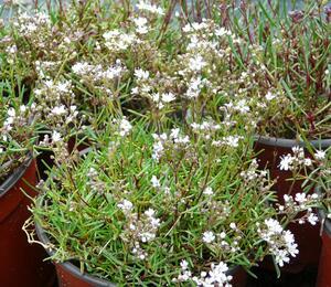 Šater svazčitý 'Silverstar' - Gypsophila fastigiata 'Silverstar'