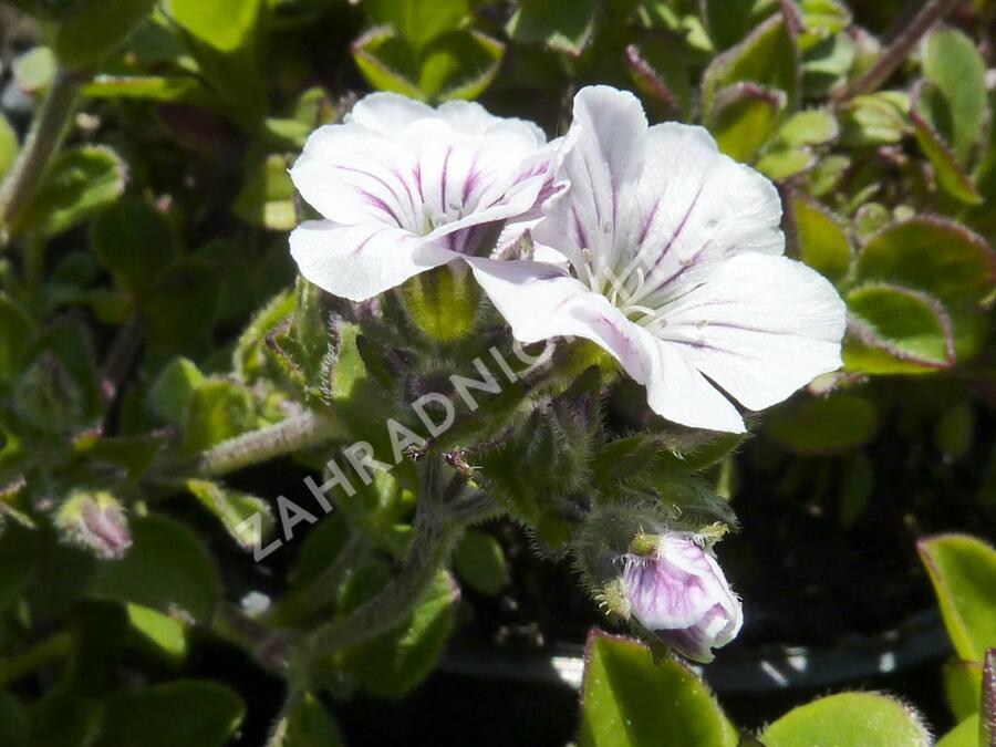 Šater plazivý - Gypsophila cerastioides