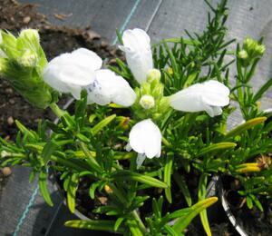 Včelník 'Fuji White' - Dracocephalum argunense 'Fuji White'