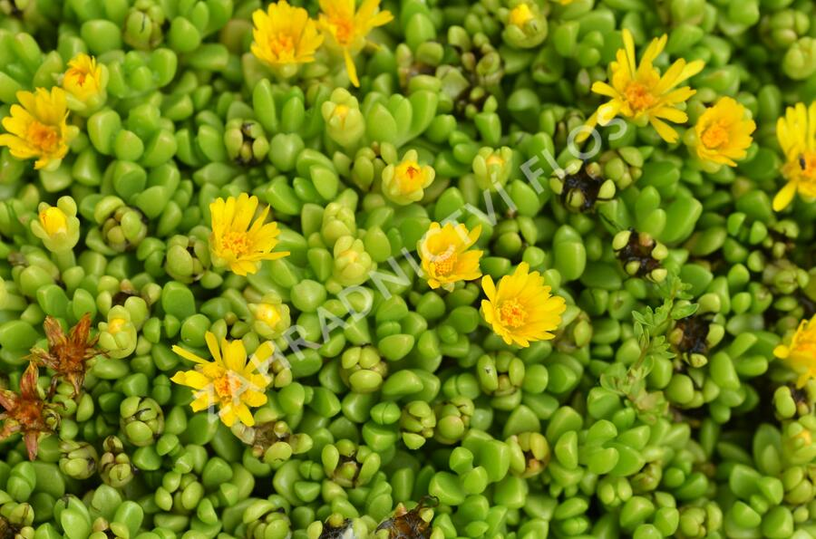Kosmatec - Delosperma nubigenum