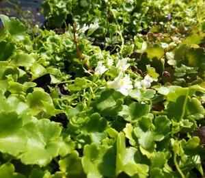 Zvěšivec bledý 'Albiflora' - Cymbalaria pallida 'Albiflora'