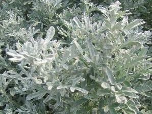 Pelyněk stříbřitý 'Boughton Silver' - Artemisia stelleriana 'Boughton Silver'
